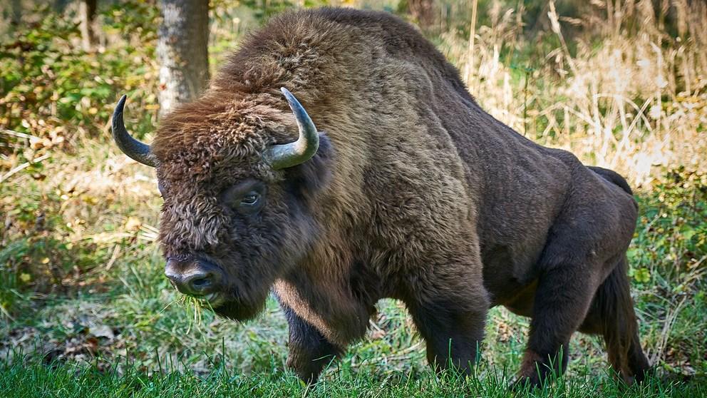 Bornholms bisonflok får nyt blod
