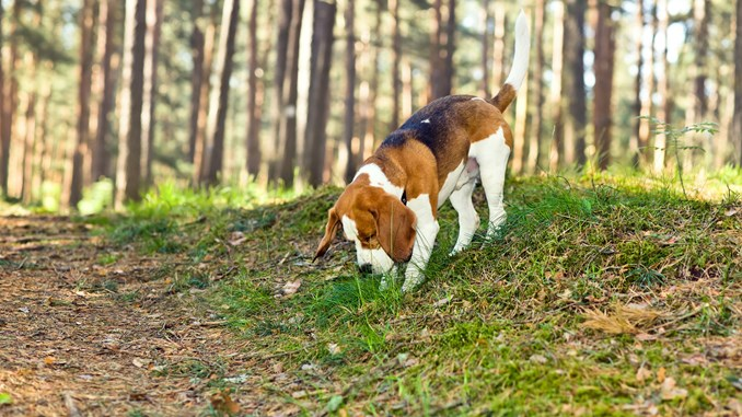 Beagle i naturen-CB