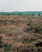 Draved skov set ude fra mosen. foto: peter friis møller, 1997