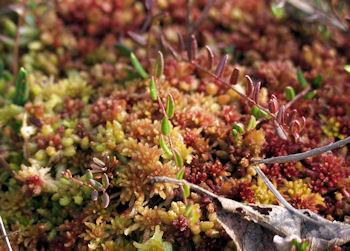 Levende sphagnum mos