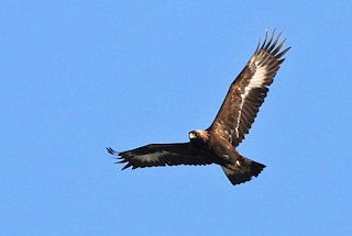 Golden Eagle in Lille Vildmose. Photo: Henrik Søndergård
